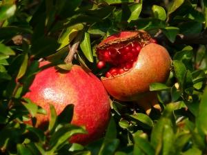 ترکیدگی میوه انار
