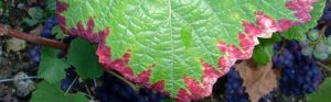 علائم کمبود فسفر در گیاه