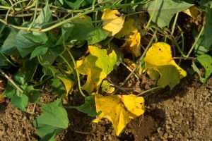 کمبود نیتروژن در گیاهان