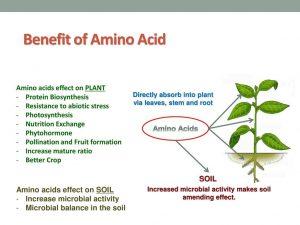 اثرات مثبت کود آمینو اسید
