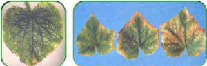 کمبود پتاسیم در گیاه خیار