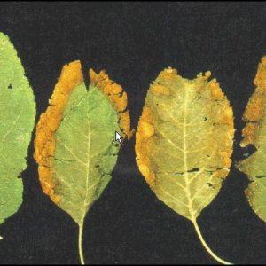 کمبود پتاسیم در گیاه